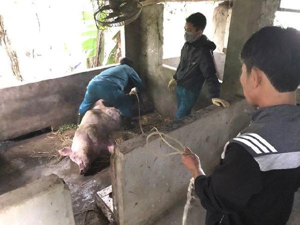 Giữa tâm bão dịch tả lợn châu Phi: lợn chết như ngả rạ, 1.762 hộ chăn nuôi điêu đứng
