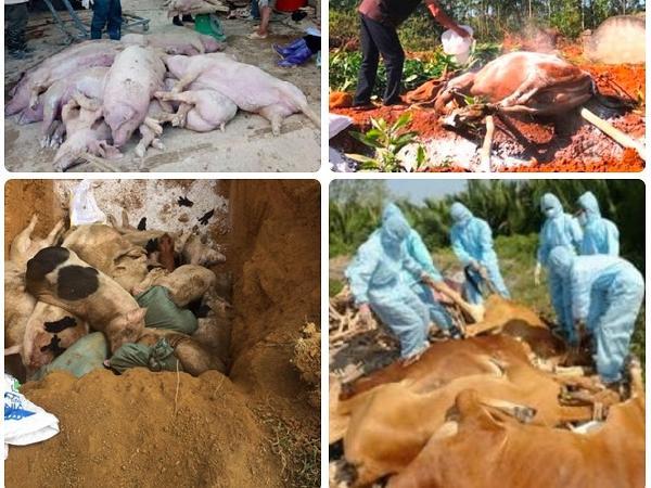 Quyết liệt dập dịch: Tiêu hủy kịp thời 5.200 con lợn và 884 con bò nhiễm dịch bệnh