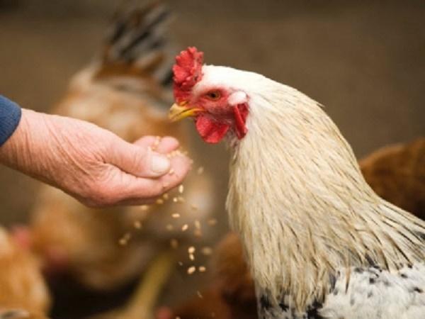 N-Thành phần trong thức ăn cần lưu ý trong nuôi gà thị