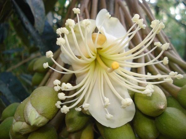CS-Hướng dẫn chăm sóc sầu riêng giai đoạn ra hoa, đậu quả