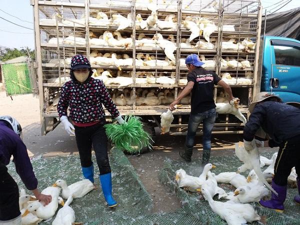 Giá vịt thịt bất ngờ tăng cao, thương lái vào tận chuồng mua vịt non