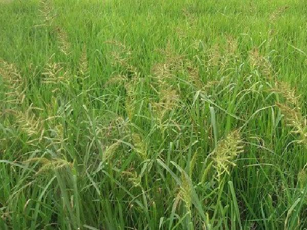 SB-Biện pháp diệt trừ cỏ dại