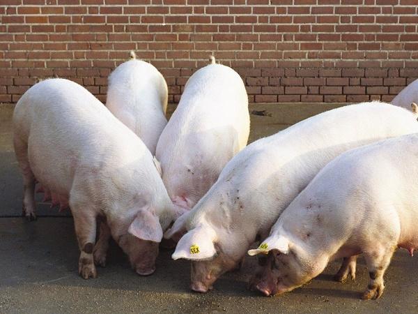 Người chăn nuôi đón tin vui: Giá lợn hơi tăng nhẹ tại miền Bắc và miền Nam