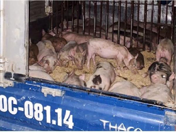 Phát hiện trang trại bán 50 con lợn giống nhiễm dịch tả lợn châu Phi