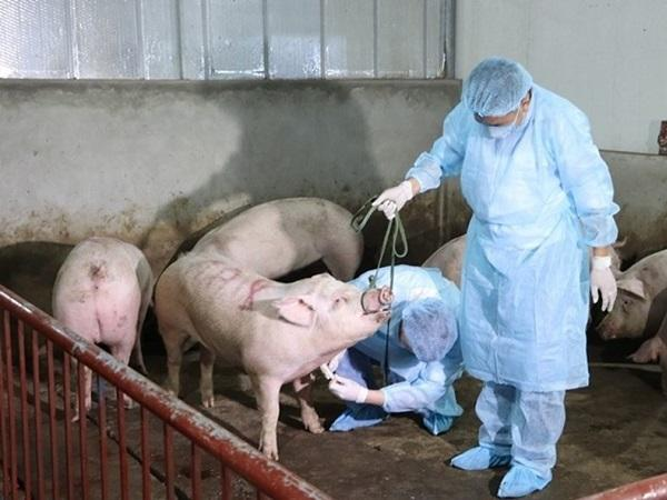 CB-Dịch tả lợn Châu Phi: Triệu chứng bệnh và cách chữa trị