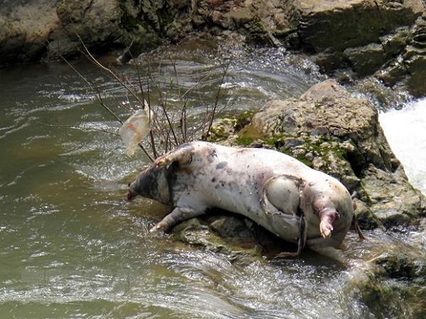 Tình trạng vứt lợn chết từ ổ dịch tả lợn châu Phi ra sông ở mức báo động