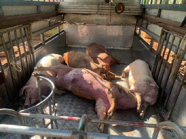 Thông báo về tình trạng lợn bất ngờ bỏ ăn rồi lăn ra chết, chưa rõ nguyên nhân