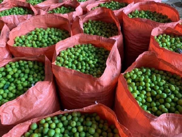 Mận cơm rớt giá thảm hại, bán 1kg không mua nổi cốc trà đá nhưng vẫn