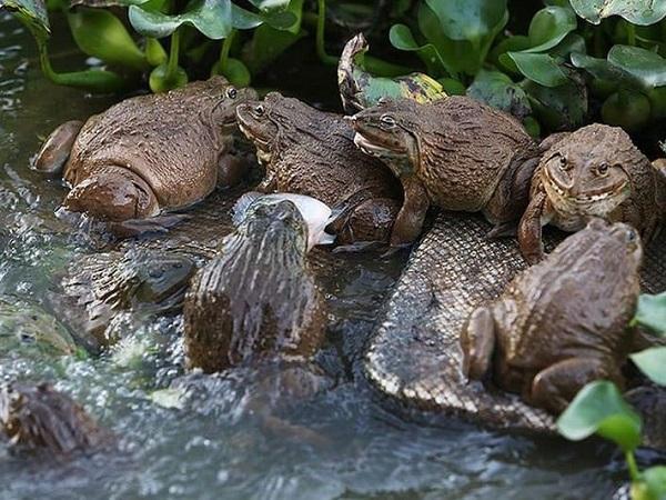 Giá ếch thịt, giá ếch giống rủ nhau tăng cao kỷ lục, bán chạy vèo vèo
