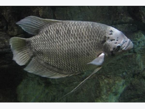 NT-Kỹ thuật nuôi cá tai tượng thương phẩm nhanh lớn mà dễ bán