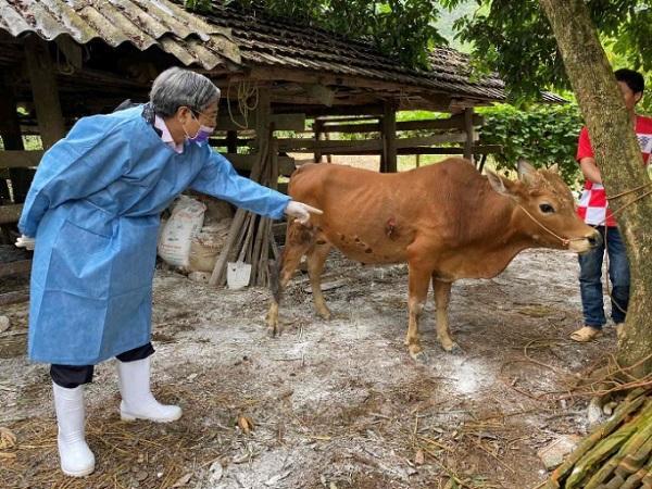 Triệu chứng và cách phòng chống bệnh viêm da nổi cục ở trâu bò