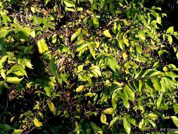 CS- Giống cà phê Stenophyllamang mang hương vị hảo hạng