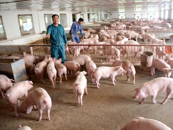 Chuyên gia chỉ ra các bệnh thường gặp ở lợn và cách chữa trị