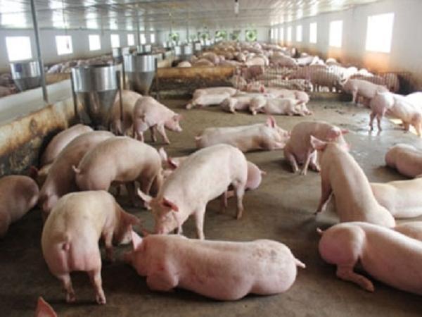 N-Những điều cần chú ý khi nuôi heo hướng thịt để đạt hiệu quả kinh tế cao