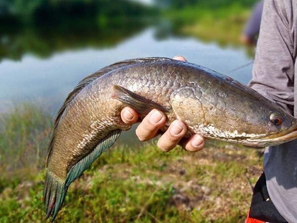 CB-Phòng và điều trị bệnh đốm trắng nội tạng trên cá lóc