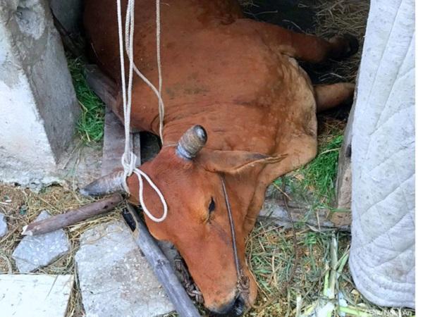 Số trâu bò chết do dịch viêm da nổi cục tăng, cơ quan chức năng ra công điện khẩn