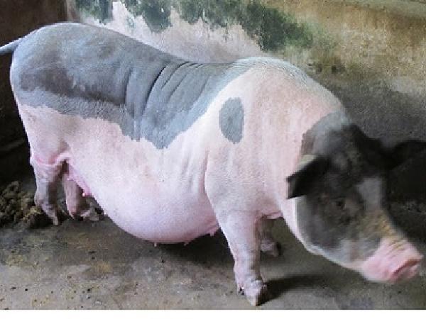 CB-Nguyên nhân lợn nái liên tục sảy thai và cách khắc phục