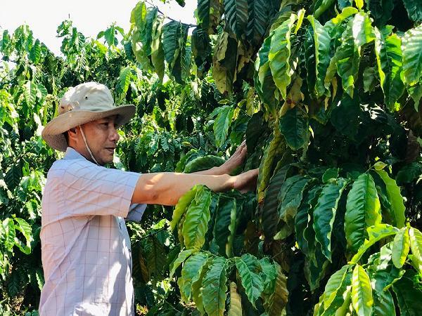 CS-Cà phê ghép chồi: Kháng bệnh tốt, năng suất cao