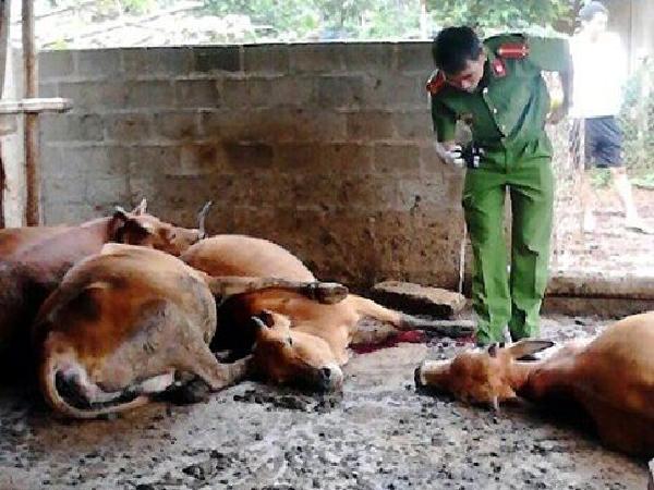 Bò chết hàng loạt tại Gia Lai, nông dân bất an, ngành chức năng vào cuộc