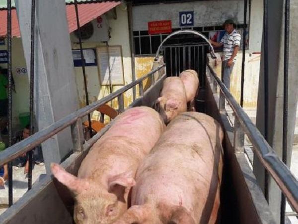 Giá lợn hơi tiếp tục giảm mạnh, hộ chăn nuôi lợn điêu đứng