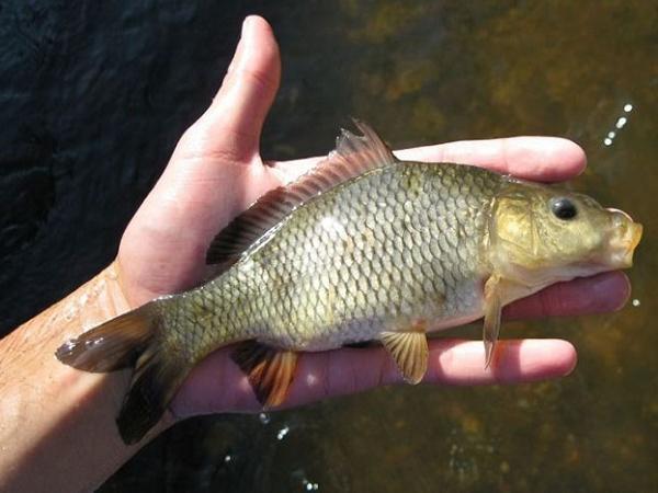 CB-U nang đường ruột: Bệnh mới trên cá chép, tỷ lệ chết cao
