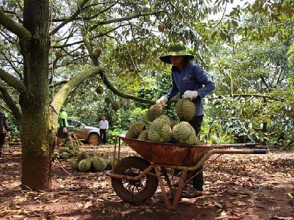 Nông dân phấn khởi vì giá sầu riêng tăng gấp đôi năm ngoái
