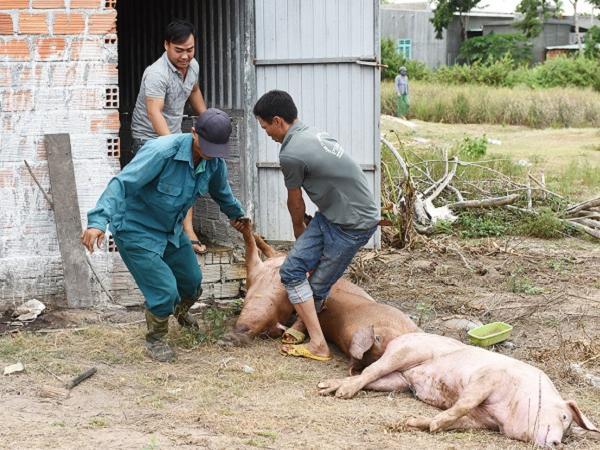 Xuất hiện thêm ổ dịch tả lợn Châu Phi nguy hiểm, cơ quan chức năng khẩn cấp khoanh vùng