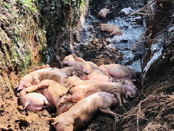 Bùng phát các ổ dịch tả lợn châu Phi mới, gian nan cho người chăn nuôi