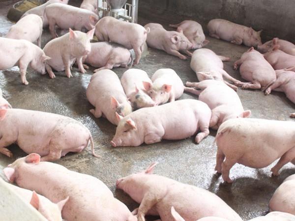 Hà Nội đối mặt với nguy cơ cao tái bùng phát dịch tả lợn châu Phi