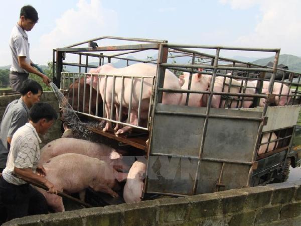 Hàng triệu con lợn và gia cầm bị 'tắc' đầu ra, nông dân lao đao