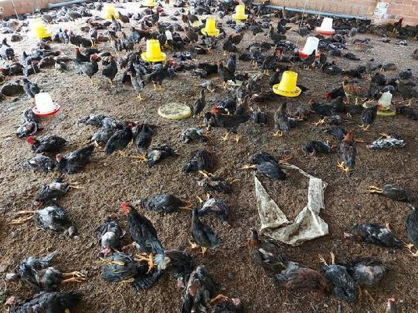 N-Những sai lầm lớn bà con thường mắc phải khiến gà chết hàng loạt