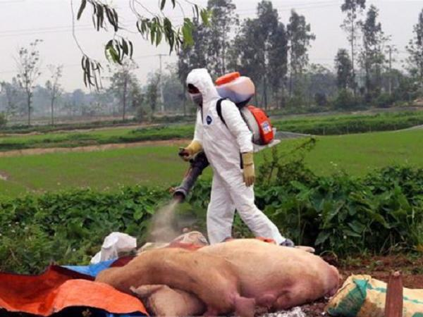 Cần cẩn trọng với 390 ổ dịch tả lợn châu Phi trên cả nước