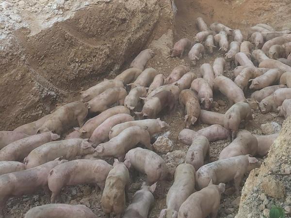 Nóng: Phát hiện số lượng lớn lợn sống nhập khẩu từ Thái Lan nhiễm dịch tả lợn châu Phi