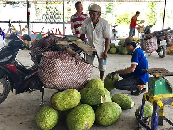 Giá mít Thái thấp kỉ lục, nông sản đồng loạt 'kêu cứu' vì không thể tiêu thụ