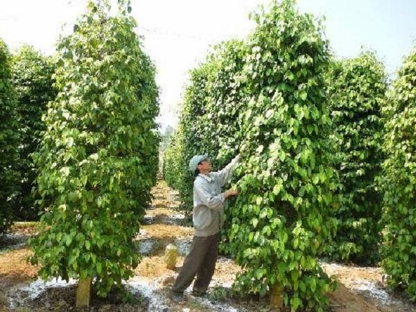 CS-Chăm sóc cây trồng đúng cách trong mùa mưa để bảo đảm năng suất