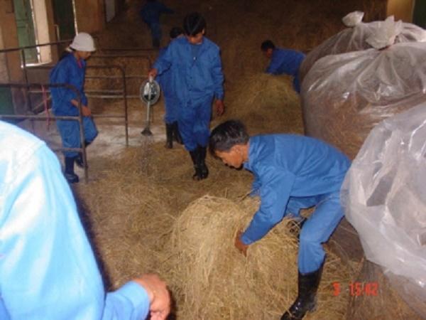 N-Một số lưu ý khi sử dụng urê trong chăn nuôi bò