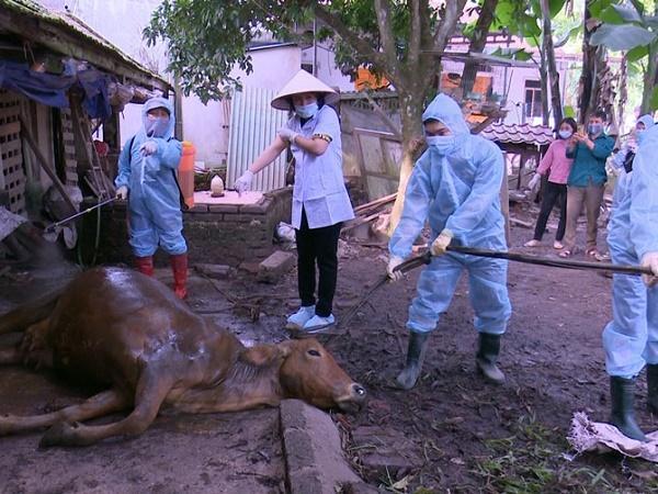 Xót xa khi phải tiêu hủy 120 con bò nhiễm viêm da nổi cục