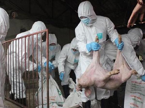 Tiêu hủy 20 con lợn mắc dịch tả lợn châu Phi, nông dân xót xa