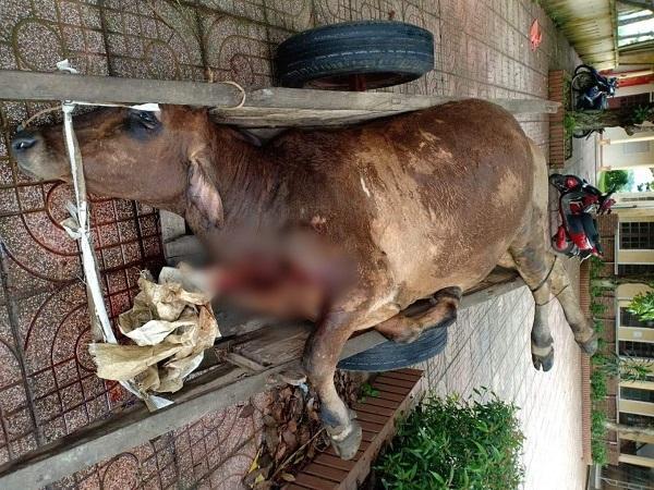 Phạt 7 triệu đồng cơ sở giết mổ mua bò bị viêm da nổi cục về làm thịt