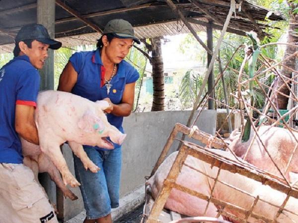 'Ông lớn' C.P liên tục giảm giá bán khiến giá lợn hơi có nơi giảm sâu