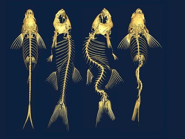 NT-Nguyên nhân gây dị tật xương cá
