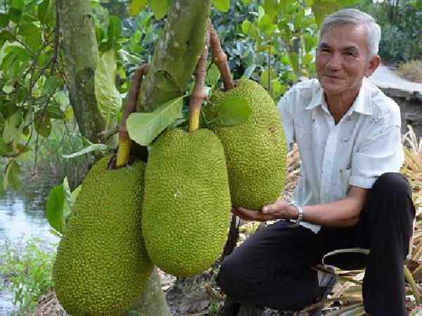 CS-Kỹ thuật trồng và chăm sóc mít Thái Changai đơn giản, đạt hiệu quả cao