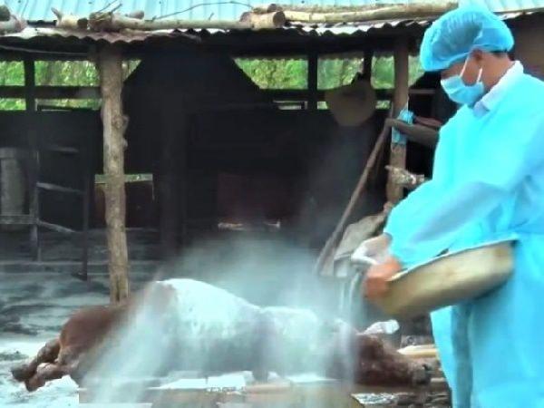 Dịch viêm da nổi cục lây lan mạnh ở Tây Nguyên, số bò chết không ngừng tăng