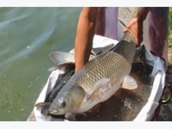 NT-Kỹ thuật nuôi cá trắm cỏ cho người nông dân rủng rỉnh tiền bạc
