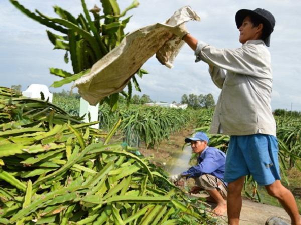Lối đi nào cho thanh long Việt Nam khi thanh long Campuchia sắp vào Trung Quốc