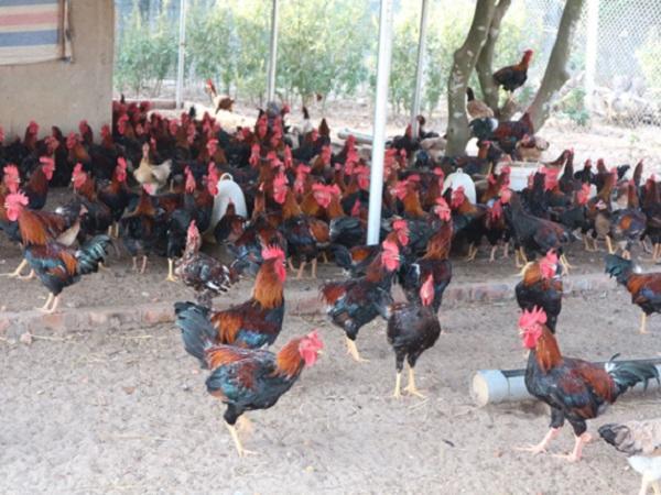 Giá gà bất ngờ tăng mạnh, lên đến 100.000 đồng/kg, nông dân tiếc hùi hụi