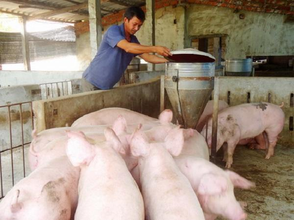 Cách phối trộn thức ăn giúp lợn lớn nhanh, tiết kiệm chi phí