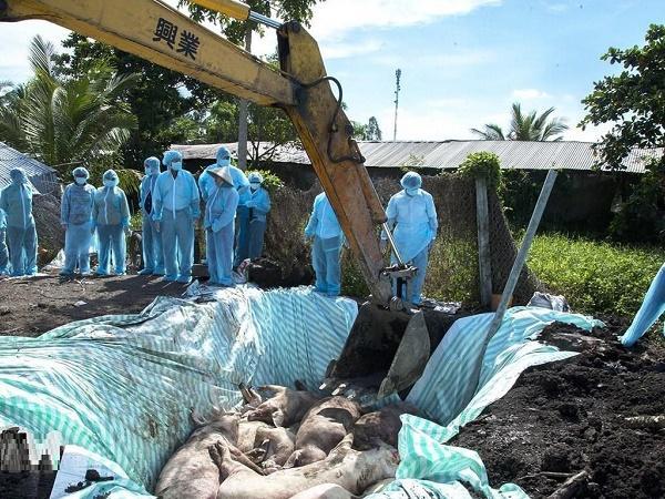 Bùng phát dịch tả lợn châu Phi dù đã phòng dịch, trang trại lợn lao đao