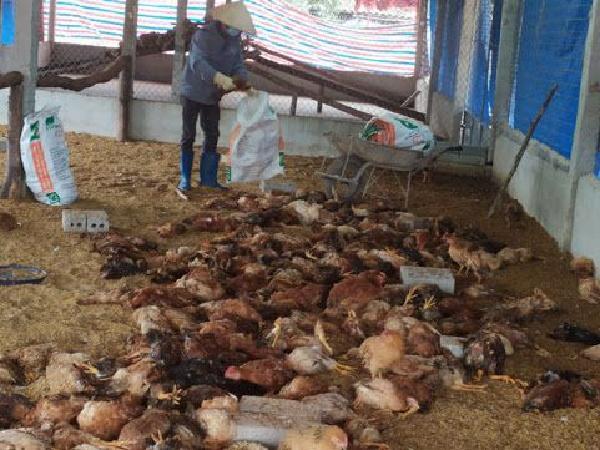 Bùng phát dịch cúm gia cầm H5N1, một trại gà tiêu hủy gần 22.000 con