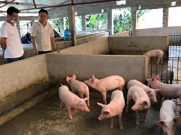 Điêu đứng vì thức ăn chăn nuôi tăng giá lần thứ 8, giá lợn hơi giảm tới 16.000 đồng/kg